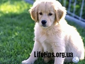 Як ліпше доглядати за собакою?
