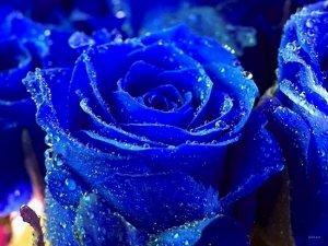 Сині троянди існують