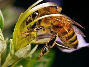 Як спілкуються бджоли?