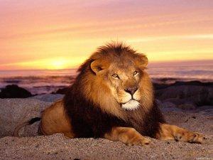 Чому лева називаються царем серед тварин?