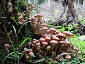 Найбільший живий організм на Землі - це гриб