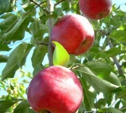 Приготування варення з яблук.