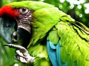 Як навчити самку папугая говорити