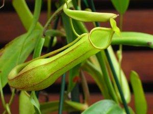 Рослина Nepenthes spathulata здатне перетравити щура разом із зубами і кістками(+відео)