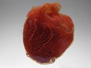 20 фактів про серце людини