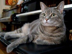 Кішка Нора грає на фортепіано джаз(+відео)