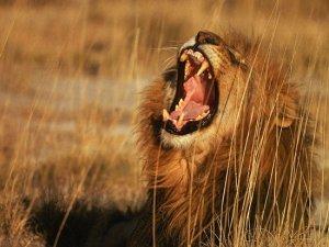 Рев лева можна почути на відстані 8 км