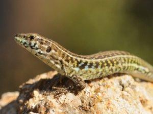 Чи є користь від ящірок?