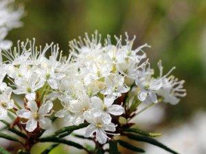 Таємниці зеленого безмовності. Чому Лохина и багно болотний ростуть поруч?