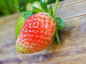 Як розмножити полуницю?