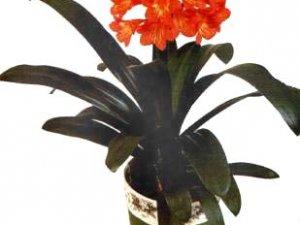 Клівія, догляд і вирощування