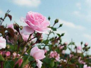 Як позбутися від попелиці на трояндах?