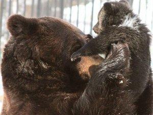 Дбайливий ведмедик-тато