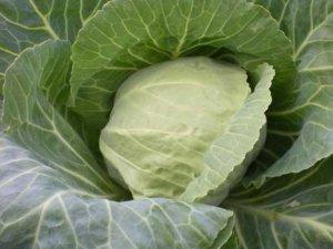 Як правильно садити капусту?